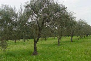 olive 020